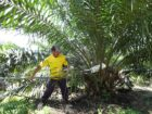 Meer dan 2/3 palmoliegebruik in Nederlands diervoeder duurzaam