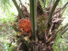 Global Investors Call for Stronger Standard from Sustainable Palm Oil Certification Group