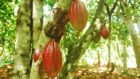 Two-thirds of Global Cocoa Supply Agree on Actions to Eliminate Deforestation and Restore Forest Areas