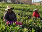 WelMac verduurzaamt macadamia productie dankzij subsidie-lening DGGF