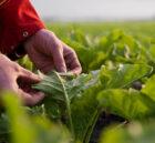 Suiker Unie gaat eiwit uit blad produceren