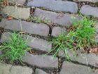 Vier grootste groenbedrijven zweren chemische onkruidbestrijding af