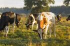 Alle kazen van CONO Kaasmakers nu GMO-vrij