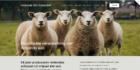 Ondernemers richten collectief op voor redden van Hollands schapenwol